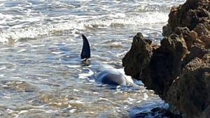delfino spiaggiato villanova2-2