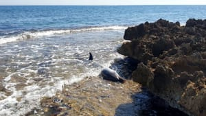 delfino spiaggiato villanova
