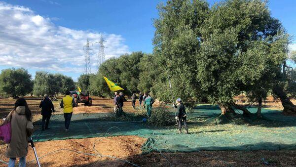 La Xylella Continua A Fare Strade Di Ulivi Coldiretti Convivere Con Il Batterio