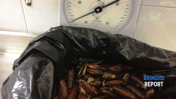 Il pescato di datteri sulla bilancia