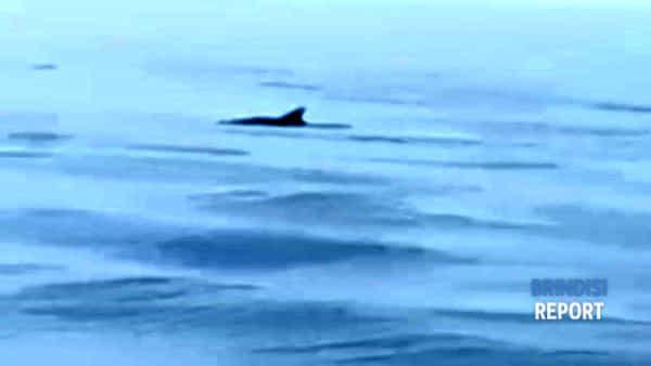 Nove delfini a pochi metri dalla diga: l'emozionante incontro