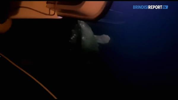 Brindisi: una tartaruga caretta caretta fra le barche del porticciolo