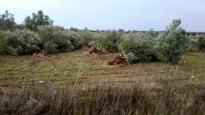 tempesta 11-12 novrembre 2019 - ulivi sradicati zona sud Brindisino-2